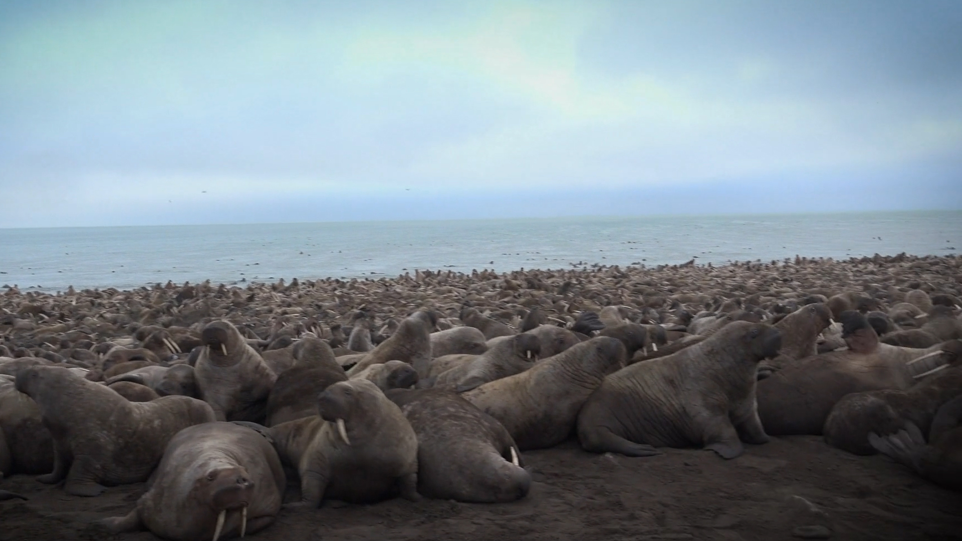 Our Planet Behind The Scenes Walrus